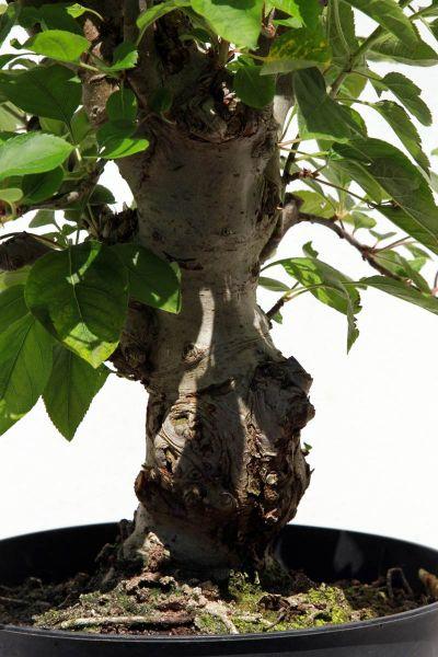 bonsaipflege online shop bonsai informationen pflegeanleitungen. Black Bedroom Furniture Sets. Home Design Ideas